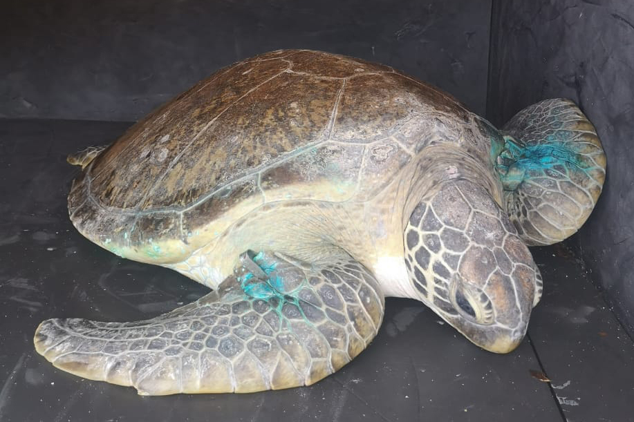 Stella green turtle rehabilitated on route to Mission Rocks in iSimangaliso Wetland Park SAAMBR