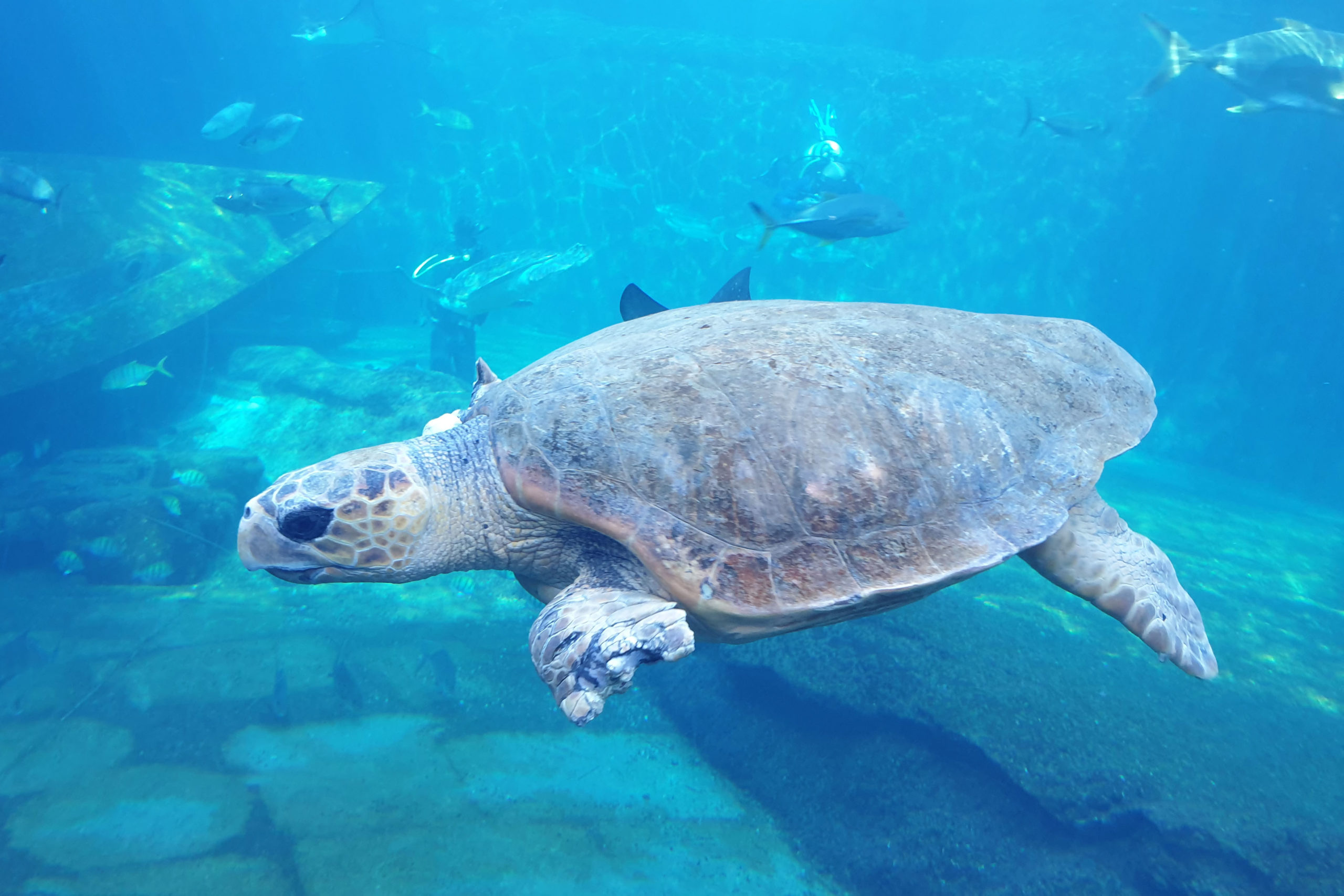 Keena, the rescued loggerhead turtle exercising in the main Open Ocean exhibit at uShaka Sea World.